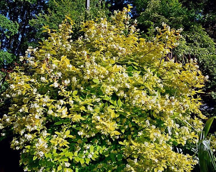 La variedad 'Aureus' tiene las flores amarillas