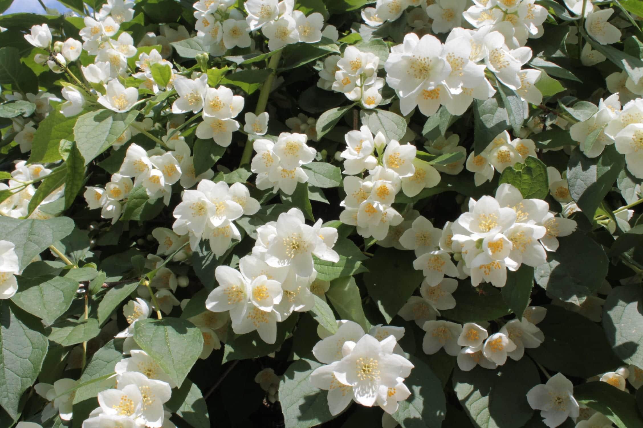 Las flores de la celinda son blancas o amarillas