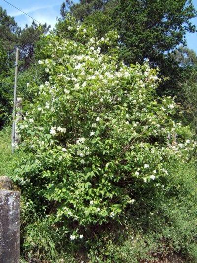 La planta de celinda es ideal para tener en jardines