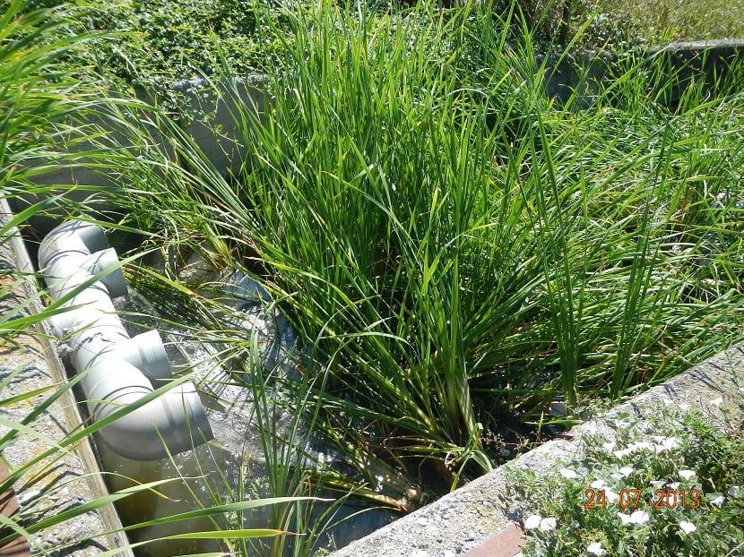 Plantas macrófitas en agua