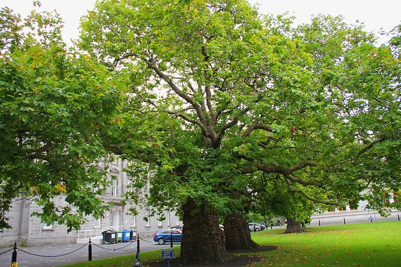 El Platanus orientalis es un árbol grande