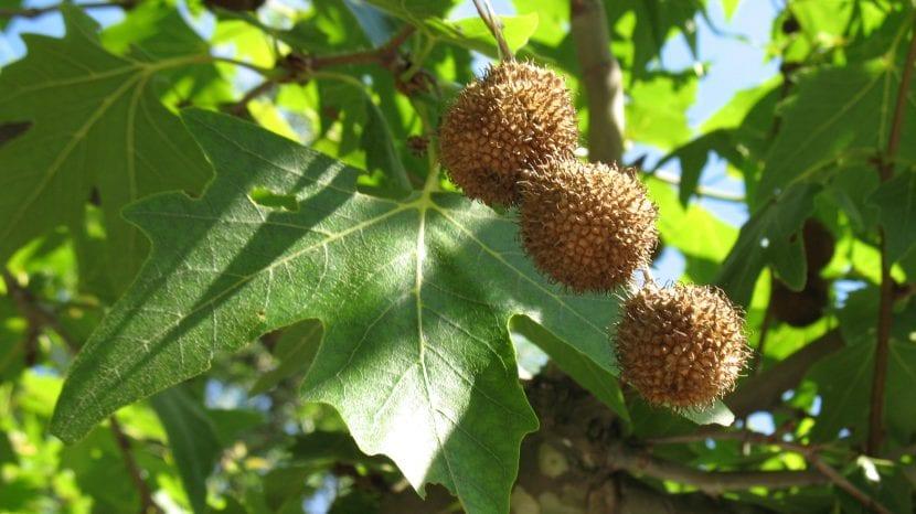 Las hojas del Platanus orientalis son caducas