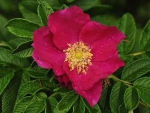 La rosa rugosa es una flor espectacular