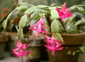 La Schlumbergera es un cactus muy decorativo