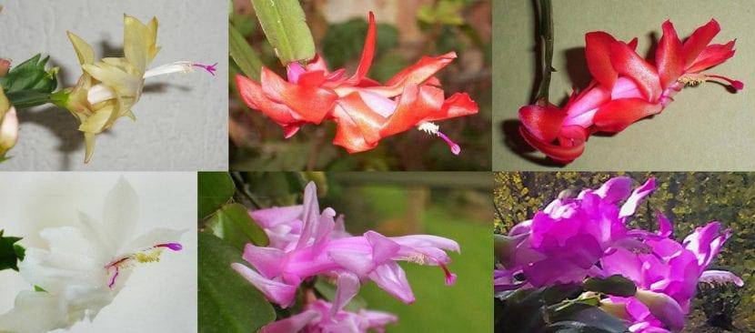 Las flores de la Schlumbergera pueden ser de varios colores