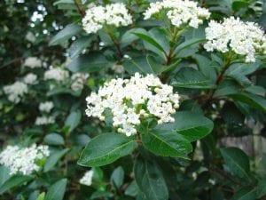 El Viburnum tinus es un arbusto muy decorativo
