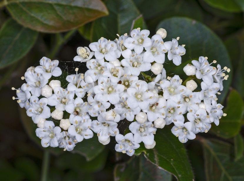 Las flores del Viburnum tinus son blancas