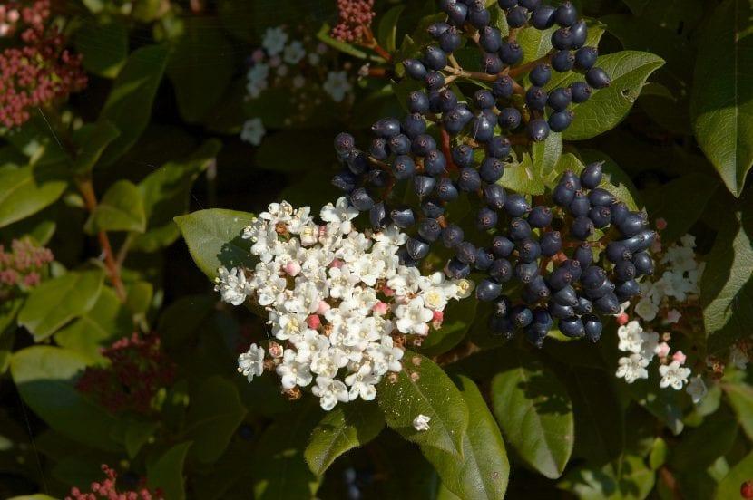 El Viburnum tinus es una planta muy decorativa
