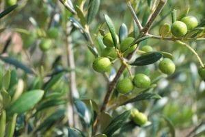 Es posible que las enfermedades del olivo hagan que su rendimiento se vea significativamente disminuido