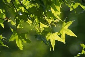 Hojas del Acer truncatum