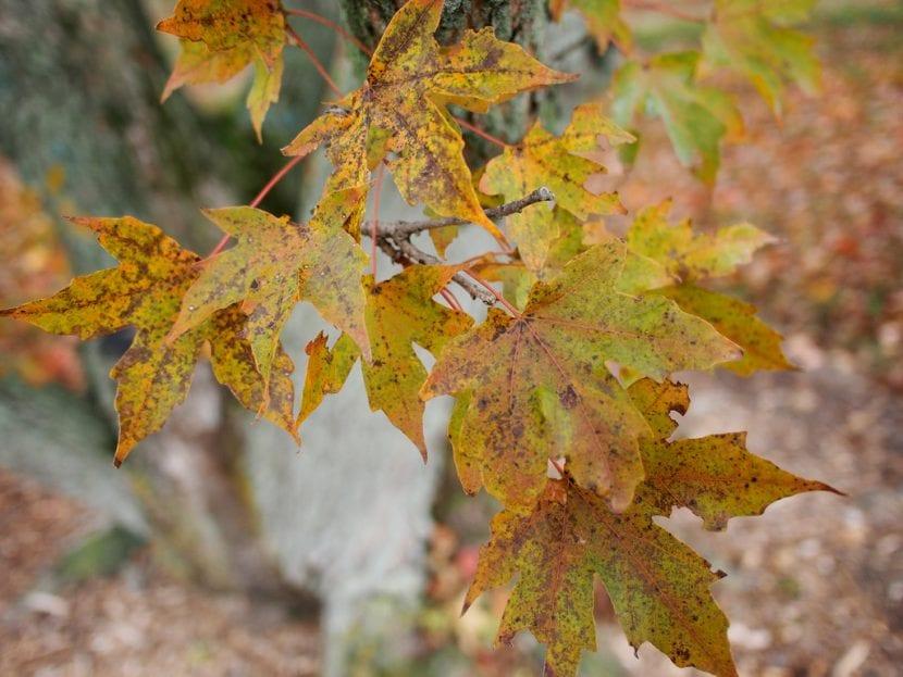 Acer truncatum en otoño