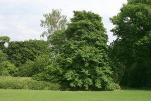 Árbol de Acer velutinum