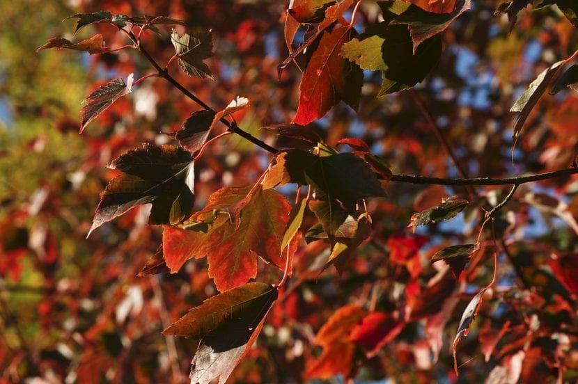 Vista del Acer velutinum en otoño