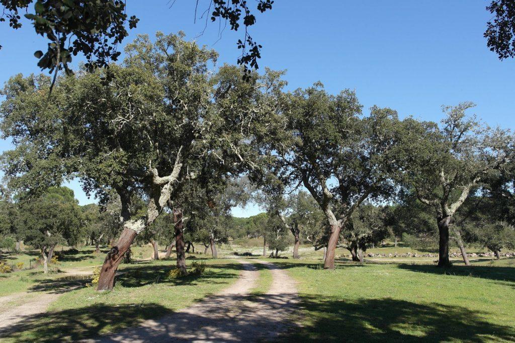 El alcornoque es un árbol mediterráneo