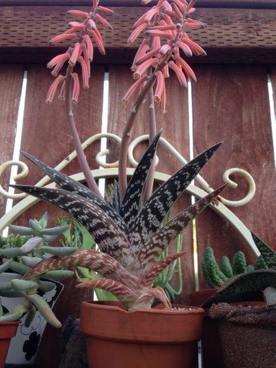Las flores del Aloe variegata son rojas