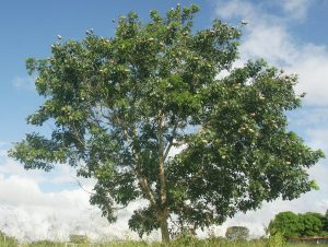El árbol de caoba es grande