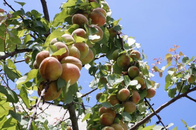 El árbol de nectarina es similar al melocotonero