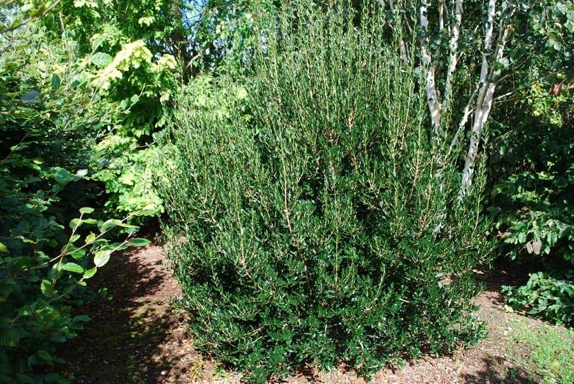 arbusto labiernago