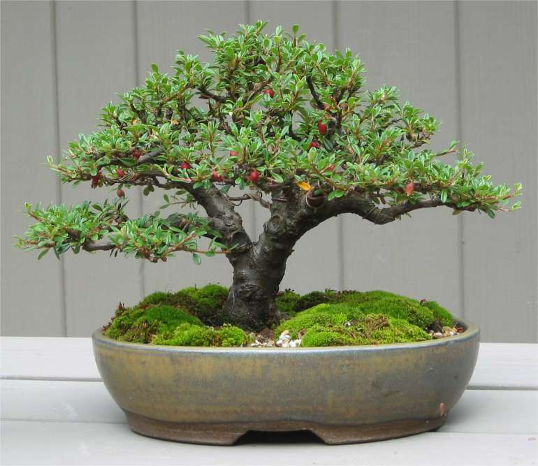 El cotoneaster se puede trabajar como bonsái