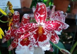 Cambria en flor