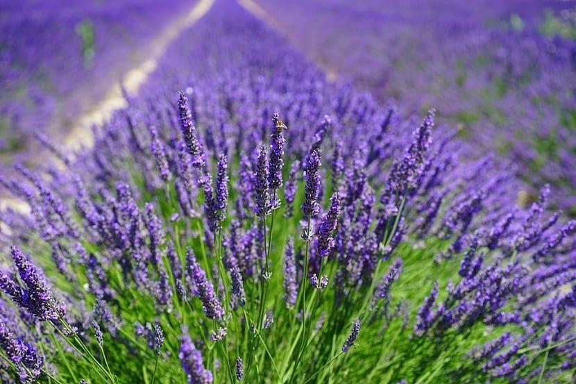 La lavanda es una planta hermafrodita y las abejas polinizan sus hojas