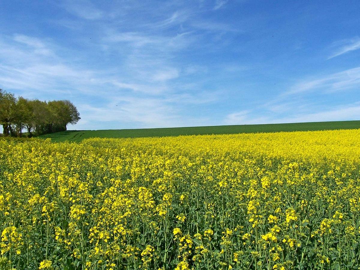 La mostaza blanca es una hierba de flores amarillas