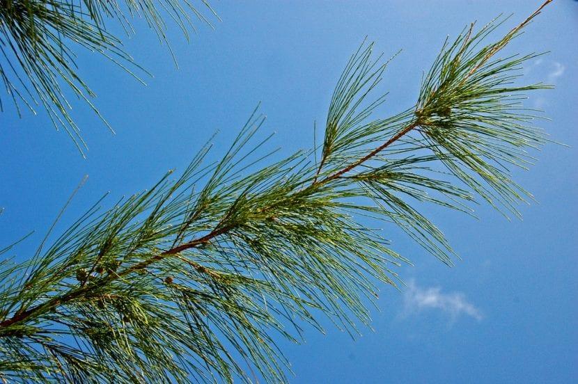 Las hojas de la Casuarina equisetifolia recuerdan a las que tienen los pinos