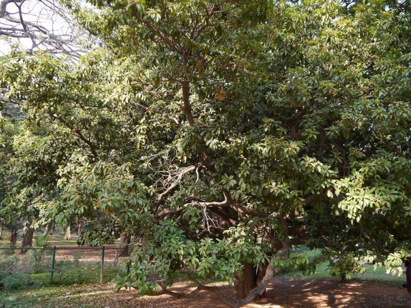 Árbol de chicozapote