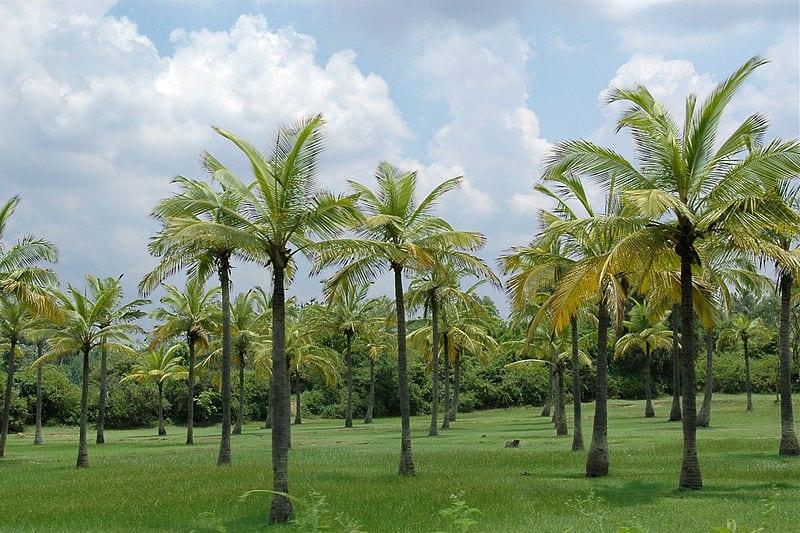 El cocotero es una palmera tropical