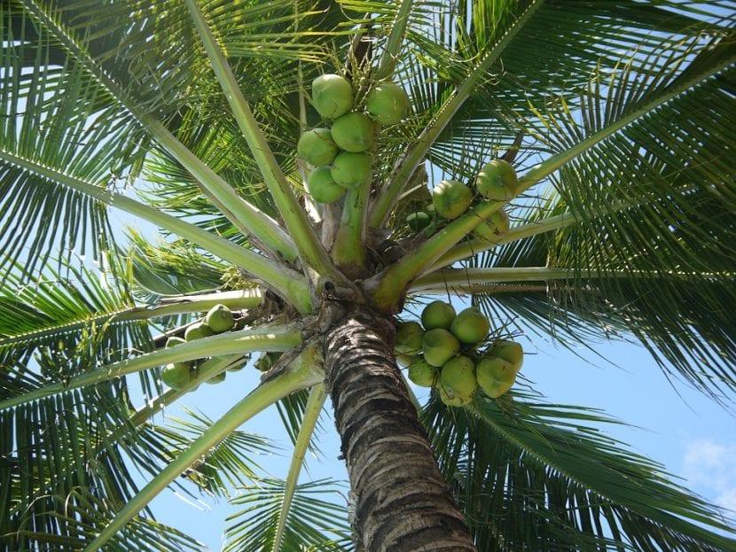El cocotero es una palmera de rápido crecimiento