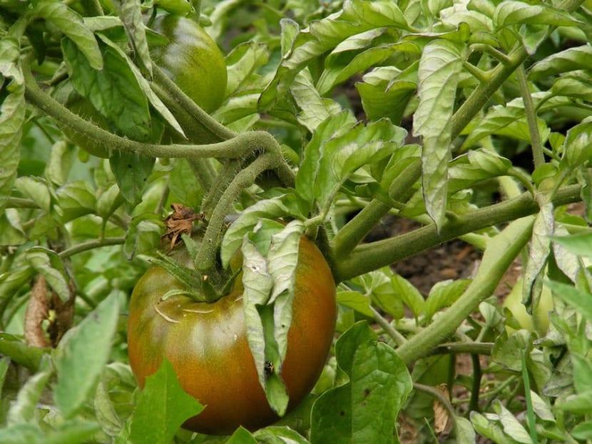 control biologico de la tuta del tomate