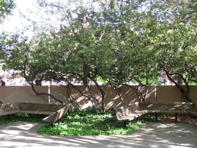 El Cotoneaster lacteus es un arbusto grande