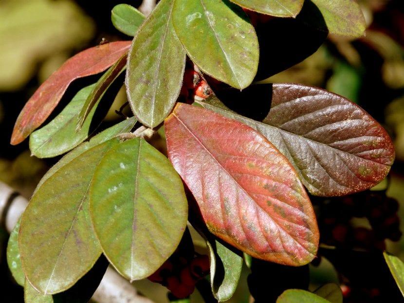 Las hojas del Cotoneaster laceus se vuelven rojizas en otoño