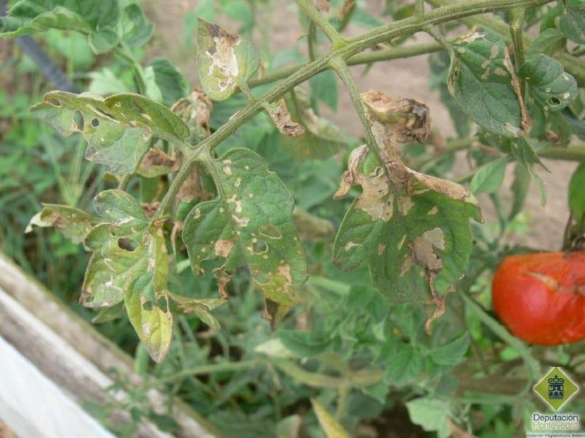 daños de la tuta del tomate