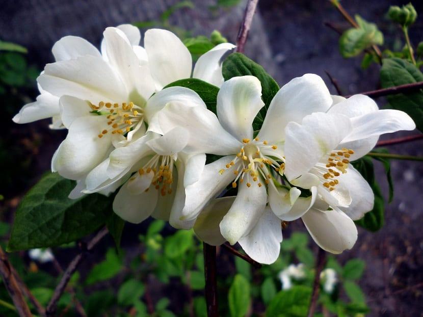detalle de flores del celindo