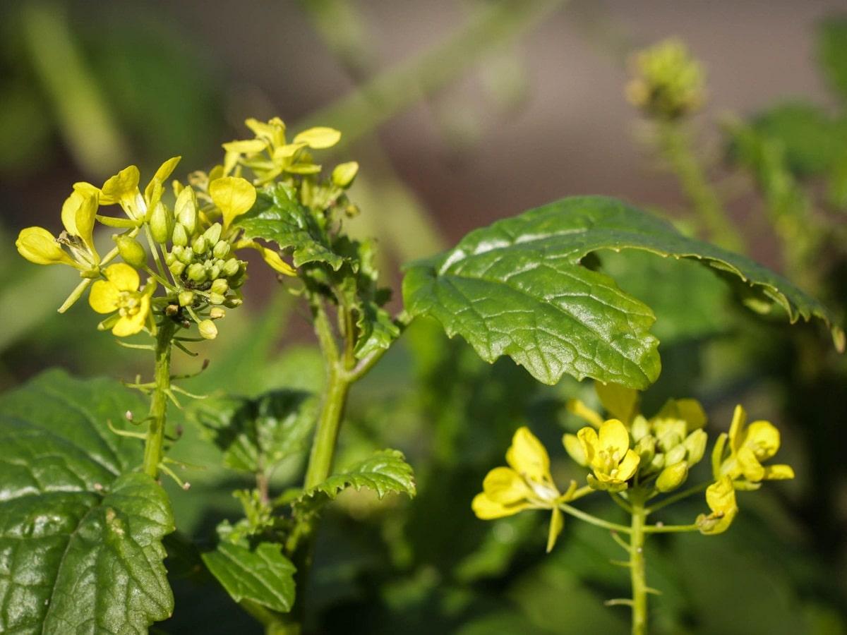 La mostaza blanca es una planta culinaria