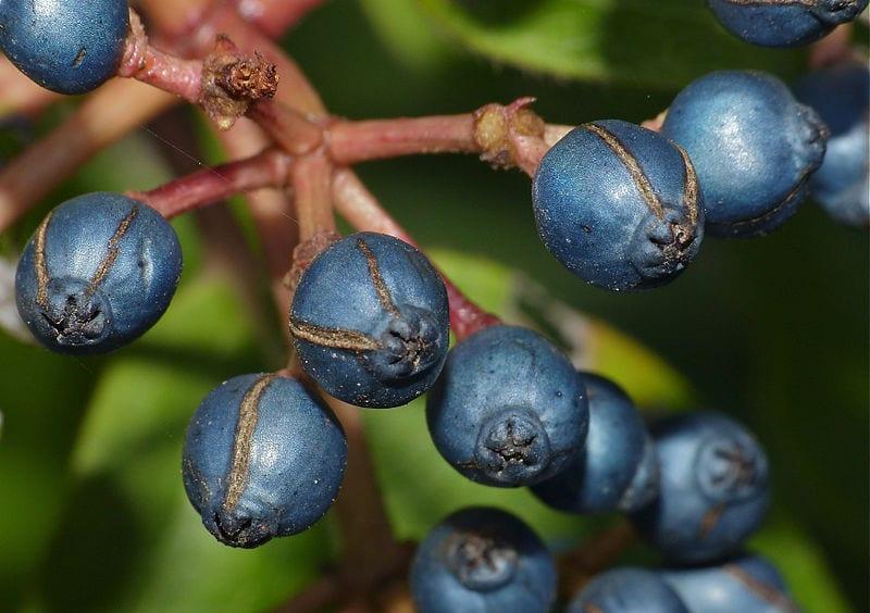 Los frutos del Viburnum tinus no son comestibles