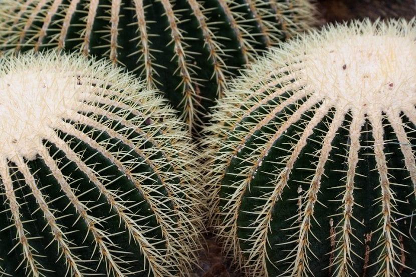 El Echinocactus grusonii es un cactus muy decorativo