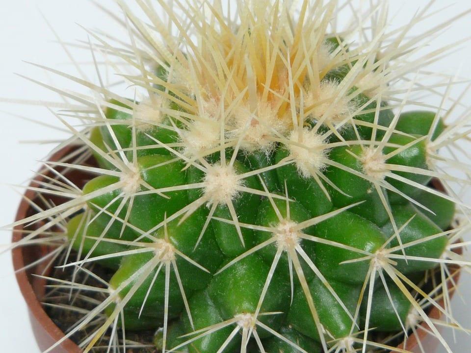 El Echinocactus grusonii es una planta muy comercializada