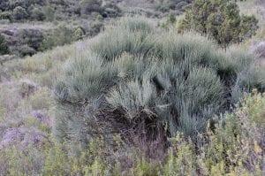 Vista de la planta efedra