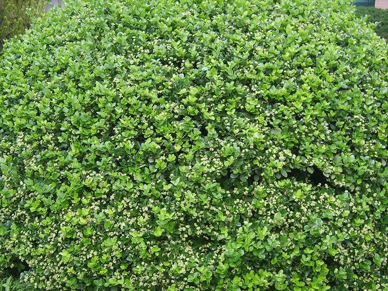 El evónimo es un arbusto perennifolio
