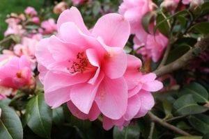 La Camelia sasanqua es una especia botánica perteneciente a la conocida familia de la Camellia