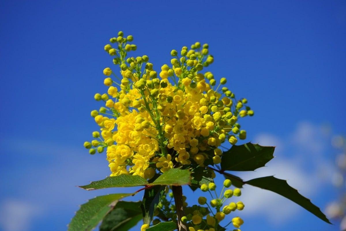 Las flores de la caoba son amarillas