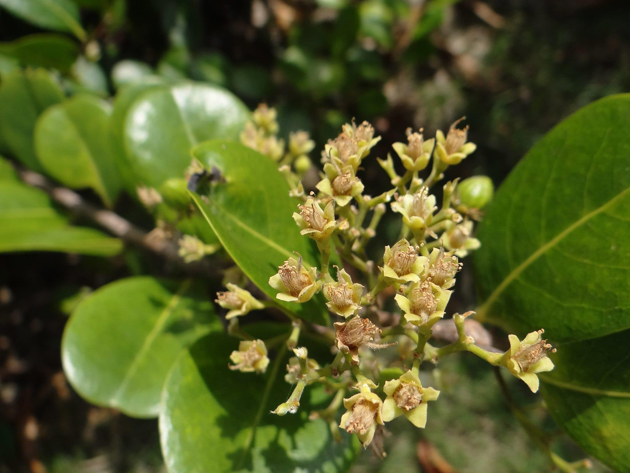 Las flores del icaco son pequeñas