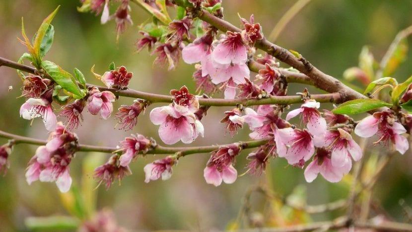 Las flores del árbol de nectarina son rosas
