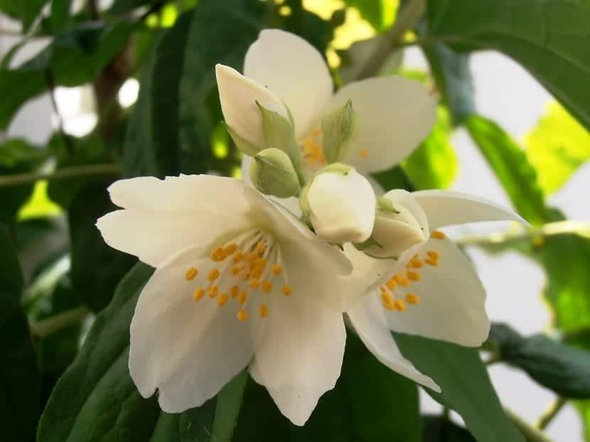 flores del celindo