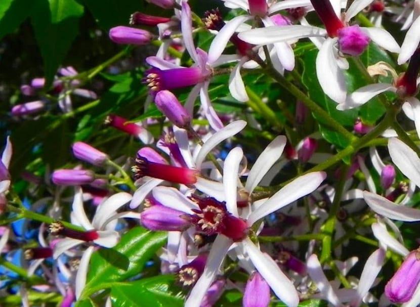 flores del cinamomo
