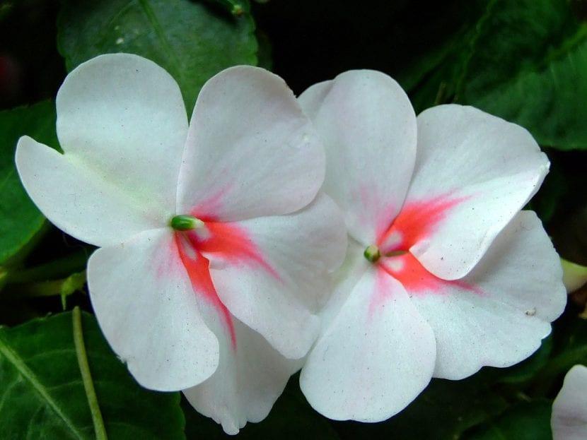 Las flores de la Impatiens son pequeñas y muy decorativas
