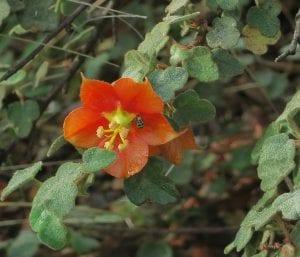 Fremontia de flor roja