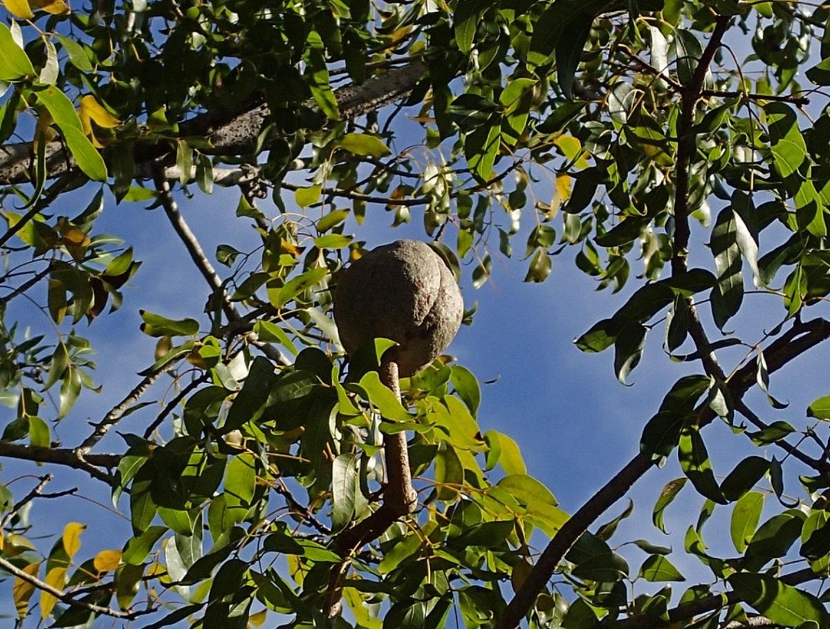 El fruto de la caoba es grande
